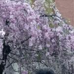 大阪・造幣局 桜の通り抜けに行きました